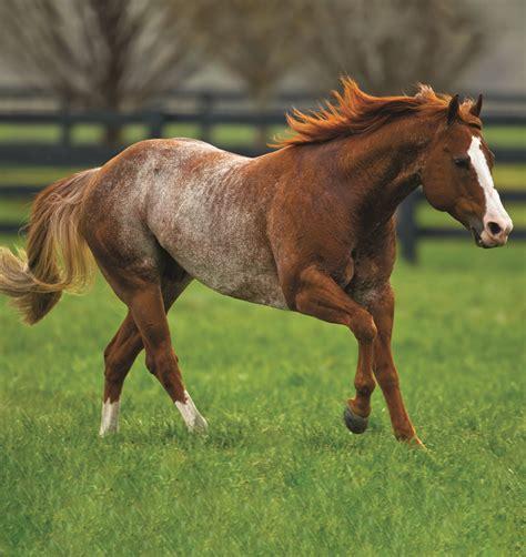 Quarter Horses Friesland