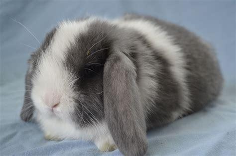 lop rabbit baby mini lops www imgkid com the image kid has it