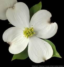 Cornus Florida Flower