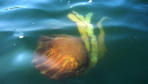 Las medusas invaden la costa israelí por el calentamiento ...