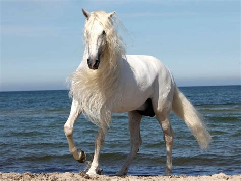 white horse  beautiful mane wallpaper widescreen hd