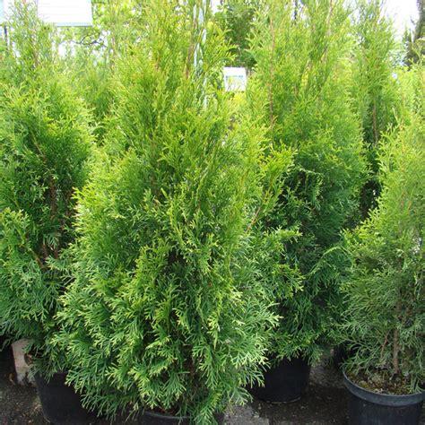 thuja hecke d 252 nnt aus gartencenter zulauf pflanzen kaufen