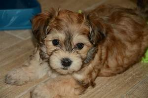 things you should know before ting those cute havanese puppies