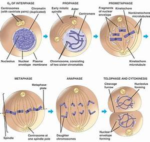 109 Best Images About Mitosis And Meiosis On Pinterest