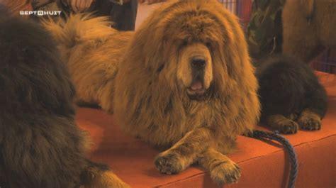 le canapé le plus cher du monde extrait sept à huit le chien le plus cher du monde