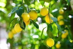 Tailler Un Citronnier : la taille du citronnier jack lumber ~ Melissatoandfro.com Idées de Décoration