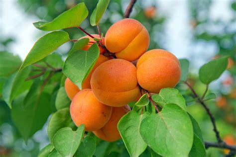 Fireball™ Apricot (full size tree)   PlantNet® Australia