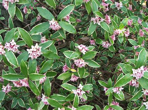 green shrub with pink flowers variegated winter daphne
