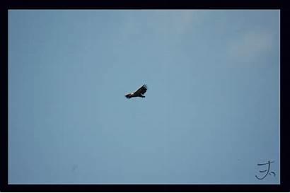 Vulture Flight Deviantart