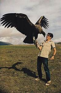 The California Condor  Gymnogyps Californianus  Is A New World Vulture  The Largest North