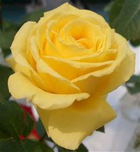 different yellow roses - Google Search Roses Pinterest