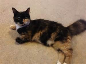 cats adoption cat for adoption nuneaton warwickshire pets4homes