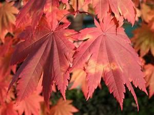Japanischer Ahorn 39Vitifolium39 Acer Japonicum