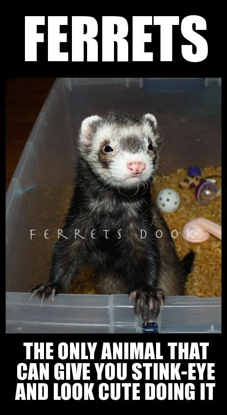 Ferret Memes - 424 best images about ferrets my small business on