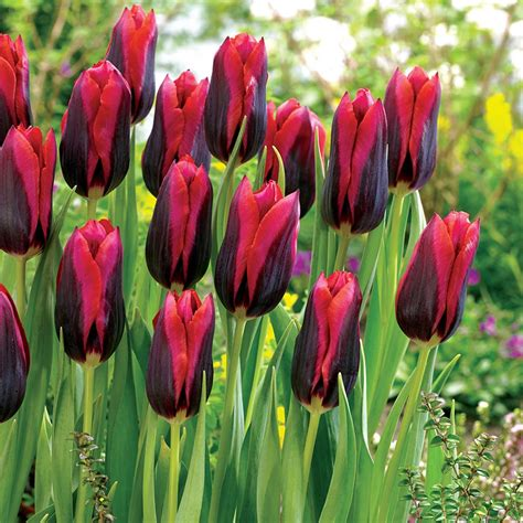 pictures of tulip bulbs buy triumph tulip bulbs tulipa muvota delivery by crocus