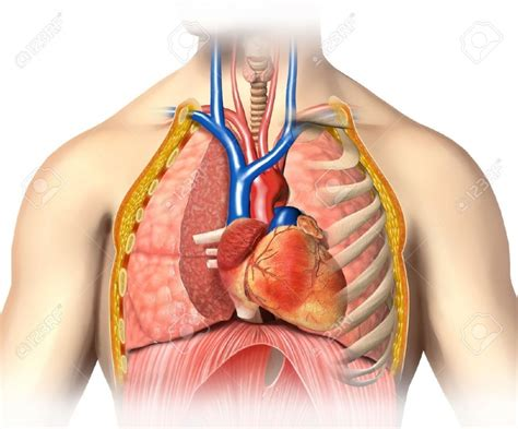 Location Of Lungs In Human Body Anatomy Organ