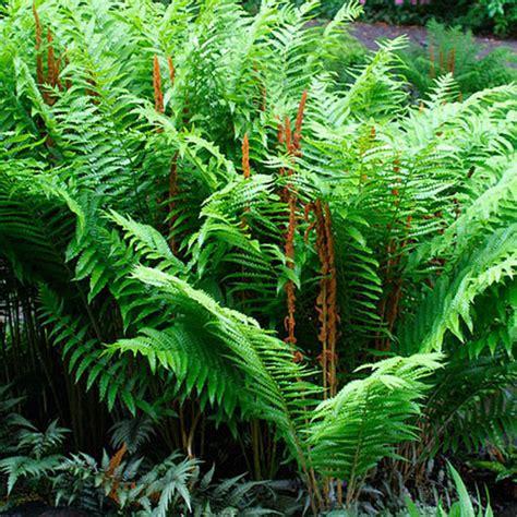 cinnamon fern osmunda cinnamomea cinnamon fern