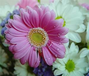 Flores de margaritas Floresyplantas net