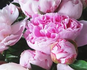 Langage Des Fleurs Pivoine : pivoines par emilia oliverio jolies pivoines pivoine fleurs et fleurs de saison ~ Melissatoandfro.com Idées de Décoration