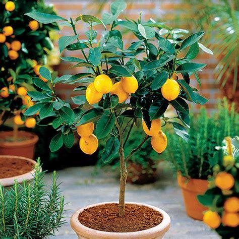 gardening landscaping lemon tree with fertile