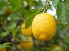 Zitruspflanzen Gelbe Blätter : zitruspflanzen d ngen sie brauchen viel eisen und kalzium ~ Orissabook.com Haus und Dekorationen