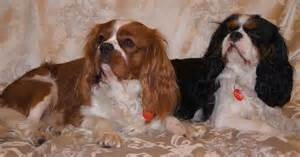king charles spaniel breed profile size weight temperament breeds picture