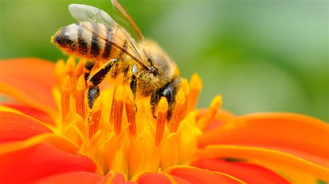 bee eating  orange flower hd wallpapers