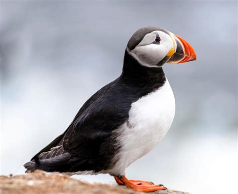 puffin bird pictures on animal picture society
