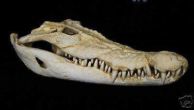 start calling  spinosaurus