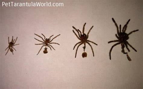 do tarantulas shed their pet tarantula world 28 images the tarantula enclosure