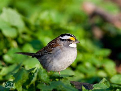 platform bird feeder white throated sparrow delightwild delight