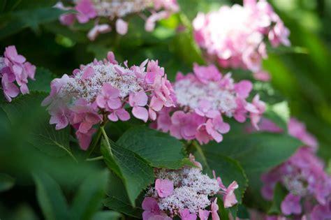 how do you prune hydrangea bushes how to prune hydrangeas