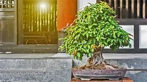 Bonsai Garten Hamburg : bonsai kaufen schneiden und pflegen ratgeber ~ Lizthompson.info Haus und Dekorationen