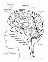 Worksheet Gehirn Labeling Otak Skull Ihrem Cerveau Gerak Mengendalikan Amygdala sketch template
