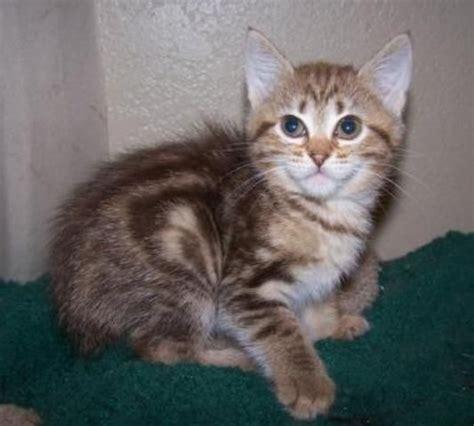 Cara Agar Kucing Tidak Hamil Lagi Gambar Dan Ciri Ciri Kucing American Bobtail Suka Kucing