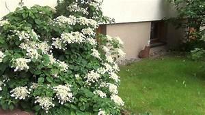 Hortensien Schneiden Video : hortensien schneiden schnittgruppe 1 youtube ~ Lizthompson.info Haus und Dekorationen