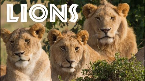 All About Lions for Children: Animal Safari Videos for ...