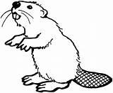 Beaver Coloring Pages Teeth Animals Beavers Printable Animal Bever Drawings Castor Drawn American sketch template