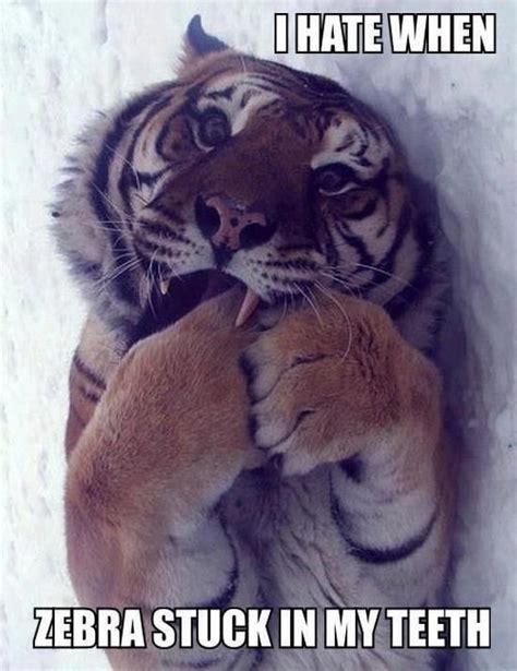 Tiger Memes - tiger meme teeth zebra baby animal pics smile breaks pinterest teeth tigers and meme