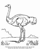 Ostrich Coloring Pages Preschool Printable Animal sketch template