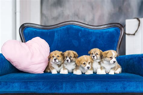best sofa for dogs during which stage of growth do puppies open their