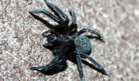 black house spider facts venom habitat information