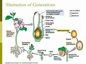 Angiosperm Reproduction & Biotechnology - ppt video online ...