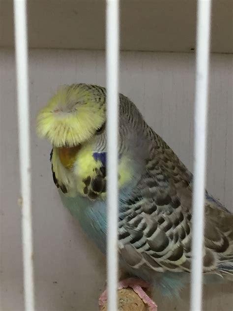 crested budgie prestige birds limited