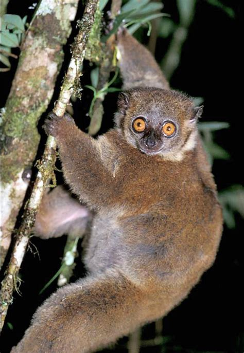 Small Toothed Sportive Lemur Wikipedia