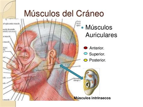 Musculos Del Craneo Pictures To Pin On Pinterest