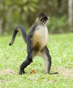 Spider Monkey Walking Monkey Facts And Information