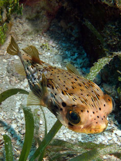 poisson herisson tachete wikipedia