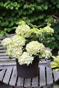 Hortensie Weiß Winterhart : bcm hortensie magical noblesse h he 30 40 cm 1 pflanze online kaufen otto ~ Orissabook.com Haus und Dekorationen