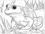 Frogs Grenouille Grenouilles sketch template